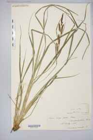 Carex acuta herbarium specimen from Hay, VC36 Herefordshire in 1887 by Rev. Augustin Ley.