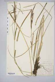 Carex acuta herbarium specimen from Ilkley, VC64 Mid-west Yorkshire in 1908 by Mr Albert Wilson.