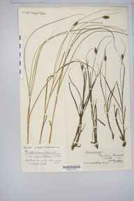 Bolboschoenus maritimus herbarium specimen from Uphill, VC6 North Somerset in 1920.