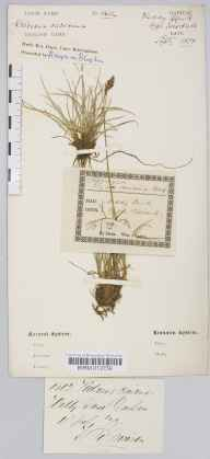 Kobresia simpliciuscula herbarium specimen from Widdybank Fell, Teesdale, VC66 County Durham in 1877 by Henry R Moiser.