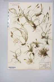 Carex caryophyllea herbarium specimen from Thetford, VC28 West Norfolk in 1916 by Rev Douglas Montague Heath.