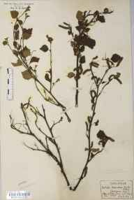 Betula pubescens subsp. pubescens herbarium specimen from Tom Buidhe, Glen Clova, VC90 Angus in 1926 by Rev Douglas Montague Heath.