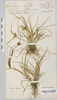 Carex viridula subsp. viridula herbarium specimen from Sowley Pond, VC11 South Hampshire in 1873 by Mr Frederick Townsend.