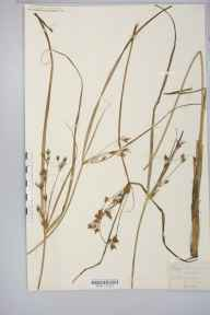 Cyperus longus herbarium specimen from Ulwell, VC9 Dorset in 1892 by Rev. Augustin Ley.