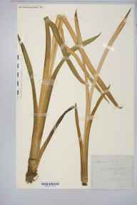 Acorus calamus herbarium specimen from Virginia Water, VC17 Surrey in 1899 by Rev. Augustin Ley.