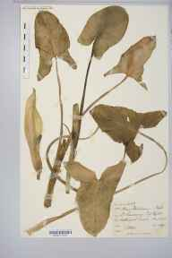Arum italicum subsp. neglectum herbarium specimen from Saint Lawrence, VC10 Isle of Wight in 1890 by James Henry Augustus Steuart.