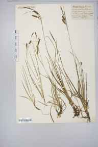 Carex flacca herbarium specimen from Leigh Woods, VC6 North Somerset in 1916 by Mr Harold Stuart Thompson.
