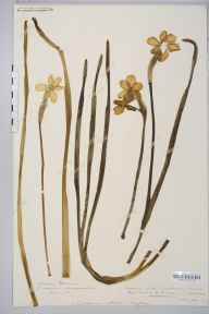 Narcissus tazetta x poeticus = N. x medioluteus herbarium specimen from Saint Weonards, VC36 Herefordshire in 1879 by Rev. Augustin Ley.
