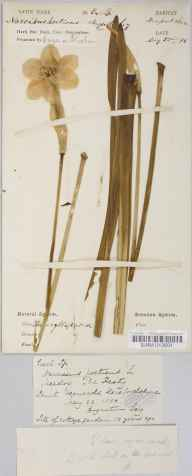 Narcissus poeticus herbarium specimen from Saint Weonards, VC36 Herefordshire in 1880 by Rev. Augustin Ley.