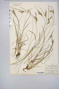 Carex pallescens herbarium specimen from Twll Du, VC49 Caernarvonshire in 1921 by Rev Douglas Montague Heath.