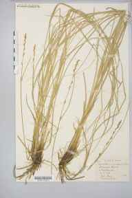 Carex paniculata x remota = C. x boenninghauseniana herbarium specimen from Newchurch, VC10 Isle of Wight in 1872 by Mr Frederic Stratton.