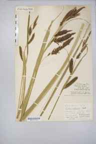 Carex riparia herbarium specimen from North Petherton, VC5 South Somerset in 1886 by Mr Harold Stuart Thompson.