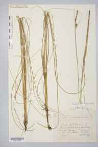 Carex lasiocarpa herbarium specimen from Morden Decoy, VC9 Dorset in 1893 by Rev. Edward Francis Linton.