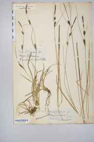 Carex lasiocarpa herbarium specimen from Kildale, VC62 North-east Yorkshire in 1852 by William A Mudd.