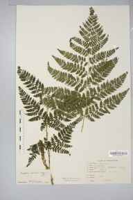 Dryopteris dilatata herbarium specimen from Shirley, Bills Wood, VC38 Warwickshire in 1950 by V Jacobs.