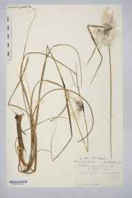 Eriophorum angustifolium herbarium specimen from Newlyn Downs, VC1 West Cornwall in 1908 by Dr Chambre Corker Vigurs.