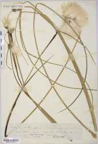Eriophorum angustifolium herbarium specimen from Shapwick Heath, VC6 North Somerset in 1841 by Mr Thomas Clark.