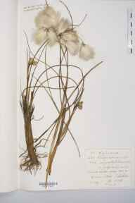 Eriophorum angustifolium herbarium specimen from Danes Moss, VC58 Cheshire in 1876 by Mr Langley Kitching.