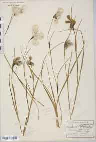 Eriophorum angustifolium herbarium specimen from Sandown, VC10 Isle of Wight in 1916 by Rev Douglas Montague Heath.