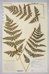 Dryopteris dilatata herbarium specimen from Ystradgynlais, VC42 Breconshire in 1899.