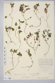 Viola canina herbarium specimen from Caistor, VC54 North Lincolnshire in 1907 by Rev. Augustin Ley.