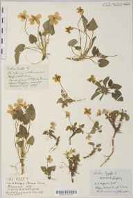 Viola hirta herbarium specimen from Brean Down, VC6 North Somerset in 1879 by Mr William Booth Waterfall.