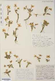 Viola hirta herbarium specimen from Cheddar, VC6 North Somerset in 1917 by Mr Harold Stuart Thompson.