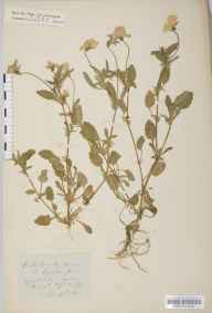 Viola tricolor herbarium specimen from Thirsk, VC62 North-east Yorkshire in 1852 by John Gilbert Baker.