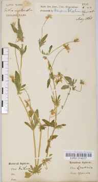 Viola tricolor herbarium specimen collected in 1868.