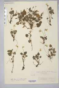 Viola reichenbachiana herbarium specimen from Saint Weonards, Crossiago, VC36 Herefordshire in 1909 by Rev. Augustin Ley.