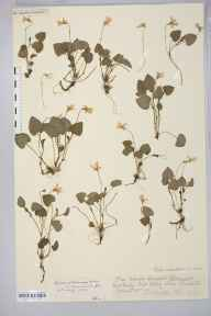 Viola reichenbachiana herbarium specimen from Saint Weonards, Crossiago, VC36 Herefordshire in 1909.