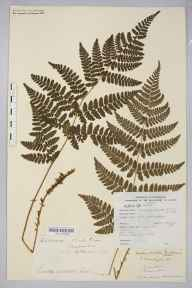 Dryopteris dilatata herbarium specimen from Howle Green, VC36 Herefordshire in 1887 by Rev. Augustin Ley.