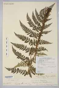 Dryopteris dilatata herbarium specimen from Bishop's Wood, VC36 Herefordshire in 1886 by Rev. Augustin Ley.