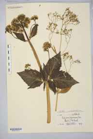 Valeriana pyrenaica herbarium specimen from River Tweed, VC79 Selkirkshire in 1909 by Miss Ida Margaret Hayward.