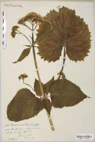 Valeriana pyrenaica herbarium specimen from Tregarth, Halfway Bridge, VC49 Caernarvonshire in 1919 by Mr John Edwards Griffith.