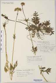 Valeriana officinalis herbarium specimen from Dyrham, VC34 West Gloucestershire in 1933 by Mr Harold Stuart Thompson.