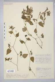 Viola lactea herbarium specimen from Reigate, VC17 Surrey in 1889 by Mr William Hadden Beeby.