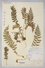 Polystichum aculeatum herbarium specimen from Hatterrall Hill, VC35, VC36 in 1885 by Rev. Augustin Ley.