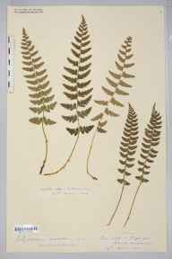 Polystichum aculeatum herbarium specimen from Sellack, VC36 Herefordshire in 1888 by Rev. Augustin Ley.