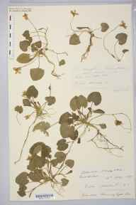 Viola odorata herbarium specimen from Ashby Parva, VC55 Leicestershire in 1887 by Rev. Augustin Ley.