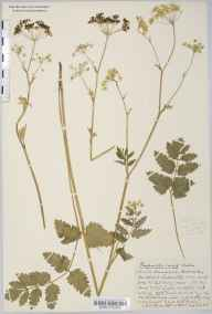 Pimpinella major herbarium specimen from Blackford, VC6 North Somerset in 1935 by Mr Arthur Langford Still.