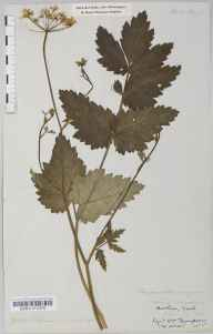 Pimpinella major herbarium specimen from York, VC62 North-east Yorkshire in 1852 by William Thompson (father of HST).