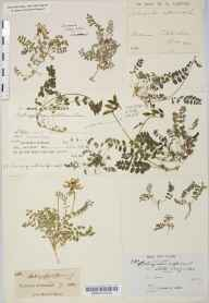 Astragalus alpinus herbarium specimen from Little Craigandal [Creag an Dail Bheag], VC92 South Aberdeenshire in 1851 by Mr John Thomas Irvine Boswell-Syme.