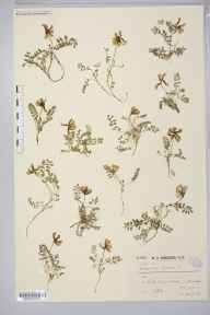 Astragalus danicus herbarium specimen from Little Craigandal [Creag an Dail Bheag], VC92 South Aberdeenshire in 1906 by Dr William Andrew Shoolbred.