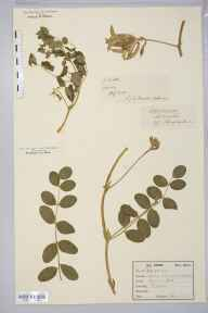 Astragalus glycyphyllos herbarium specimen from Sandy, VC30 Bedfordshire in 1876 by Mr J N Maxwell.