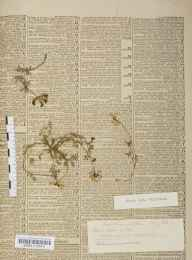 Hippocrepis comosa herbarium specimen from Leckhampton, VC33 East Gloucestershire in 1880 by Mr William Henry Wilkinson.