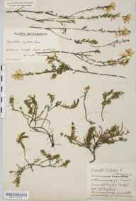 Genista pilosa herbarium specimen from Ashdown Forest, VC14 East Sussex in 1935 by Mr Edward Charles Wallace.