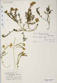 Genista tinctoria subsp. humifusa herbarium specimen from Lizard Point, VC1 West Cornwall in 1935 by Ivor W Evans.