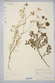 Securigera varia herbarium specimen from Maidstone, Kent in 1876 by Jean Clodius Tempere.