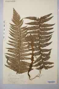 Polystichum aculeatum herbarium specimen from Tarrens, VC35,VC36,VC42 in 1871 by Rev. Augustin Ley.